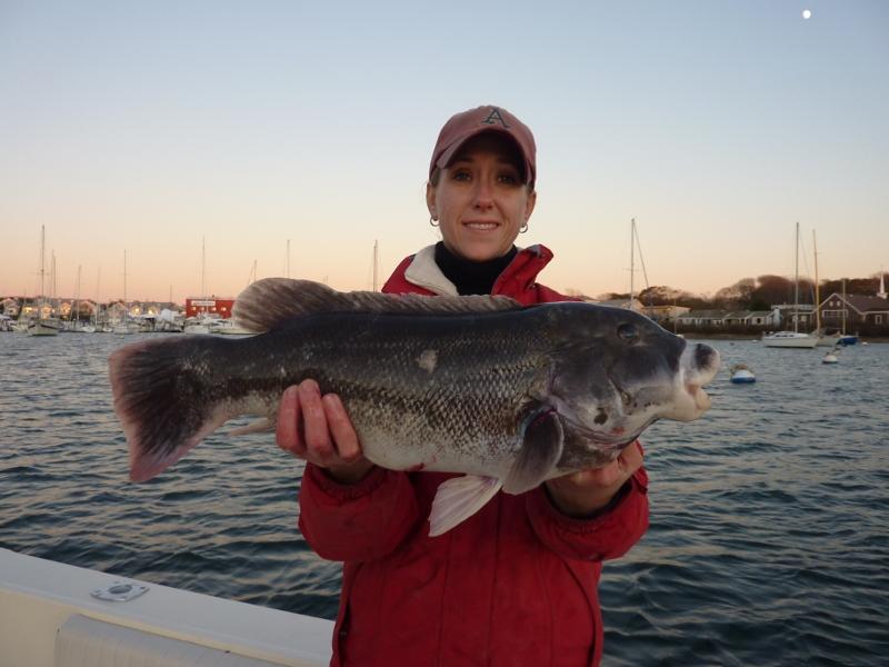 19 inch 5lb Cape Cod Tog