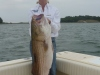 44 inch 30lb. Striped Bass