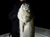 September Fall Run Striper 44